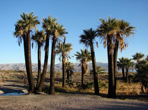 Пальма вашингтония нитчатая в природе