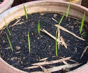Пальма вашингтония из семян