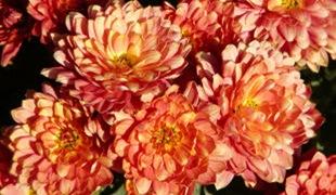Хризантема Vreneli