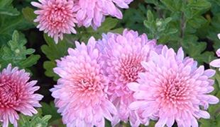 Хризантема Nebelrose
