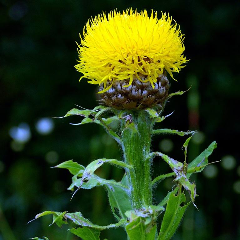 Василек золотисто-желтый выращивание из семян 4