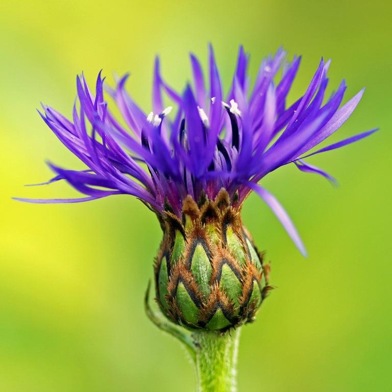 фото цветка василек