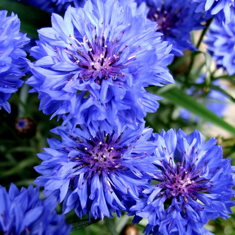 Васильки цветы картинки