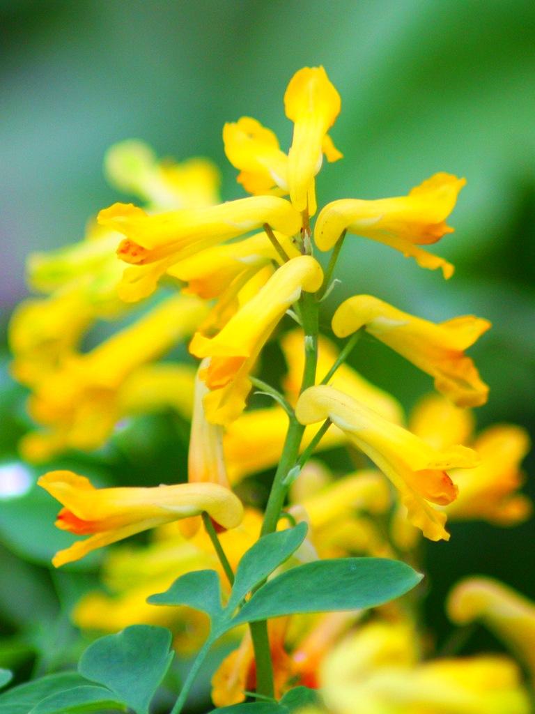 хохлатка желтая