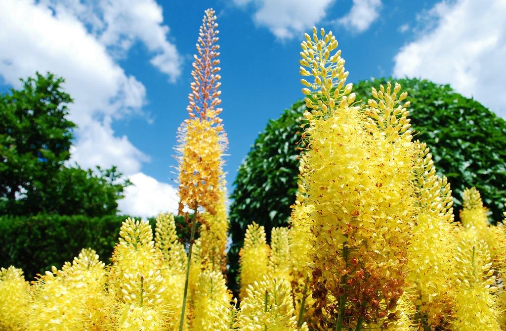 Эремурус цветок