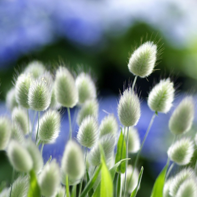 Зайцехвост выращивание из семян в домашних условиях 10