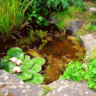 Растения для маленького пруда