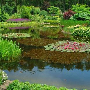Растения для большого пруда