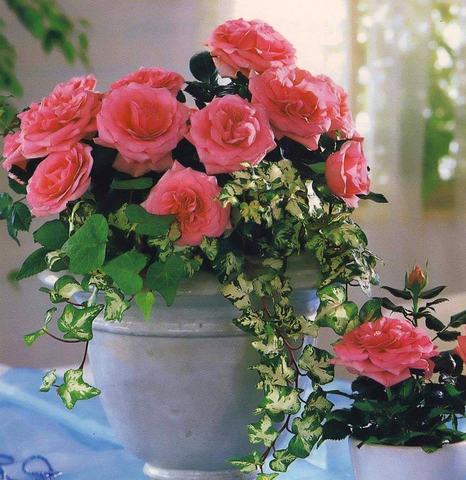 Уход за комнатной розой