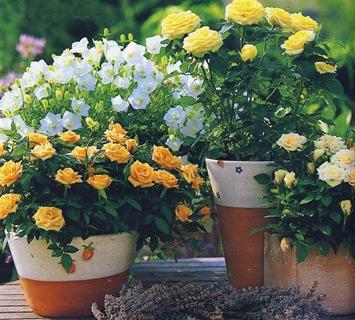 Розы в горшках желтые