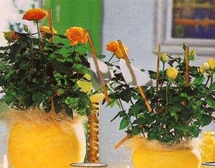 Розы в квартире в горшках