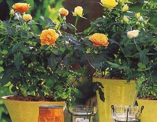 Розы в горшках в саду
