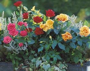 Розы в ящике на балконе