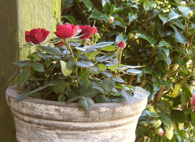 Какие розы можно выращивать дома в горшках