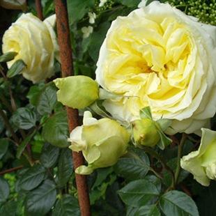 Плетистая роза Эльф