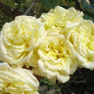 Роза сорта Эльф