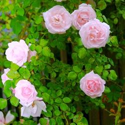 Плетистая роза 'New Dawn'
