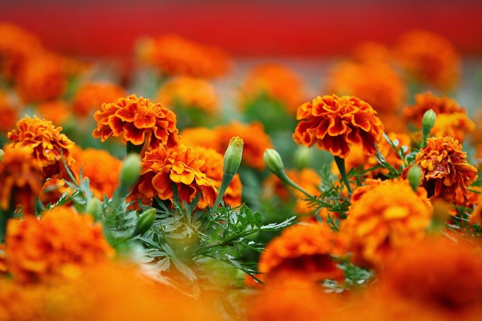 Цветы оранжевые на клумбе