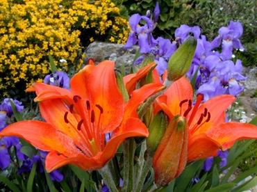 Сочетания цветов на рабатке