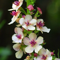 Коровяк розовоцветковый