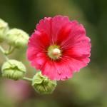 Шток-роза (мальва, алтей)