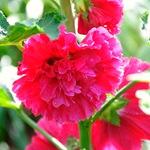 Шток-роза махровая розовая