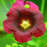 Шток-роза алая