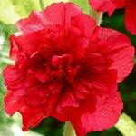 Шток-роза махровая красная