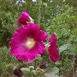 Мальва фиолетовая