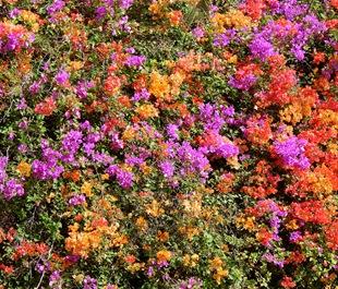 Разноцветная Бугенвиллия
