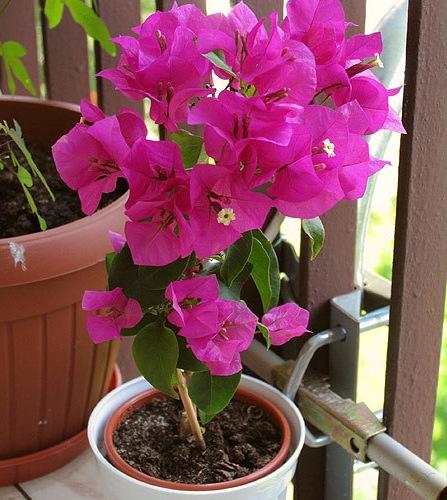 Бугенвиллия цветок фото
