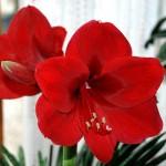 Гиппеаструм: цветущий к празднику