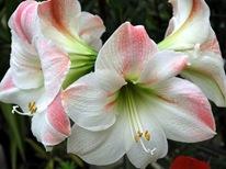 Гиппеаструм белый с розовым