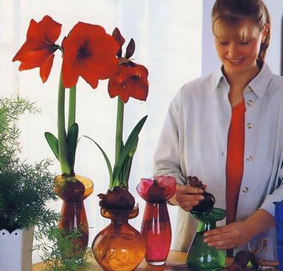 Посадка гиппеаструмов в вазы с водой