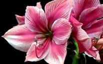 Розовый гиппеаструм