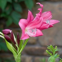 Цветущий гиппеаструм