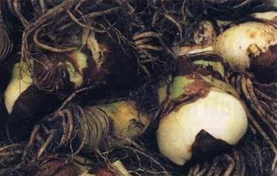 Луковицы гиппеаструма