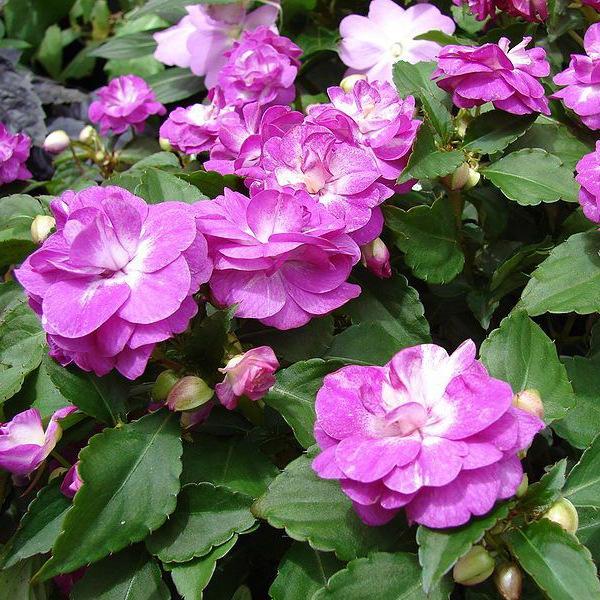 Садовый бальзамин в открытом грунте ведет себя как однолетник: растет, цветет и после первого же заморозка погибает.