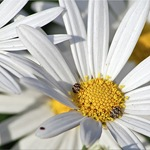 Нивяник - ромашка садовая