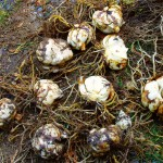 Лилия – способы размножения