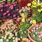 Кислица – цветок счастья