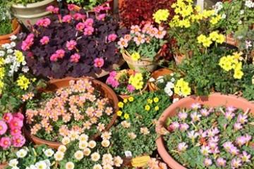 Кислица - домашняя и садовая