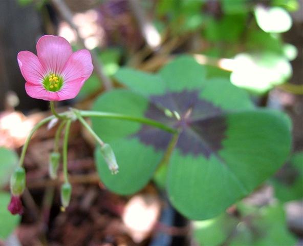 Кислица  фото уход сорта кислицы  Любимые цветы
