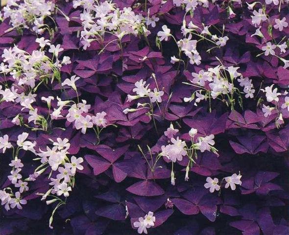 День и ночь цветок