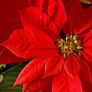 Пуансетия - цветы