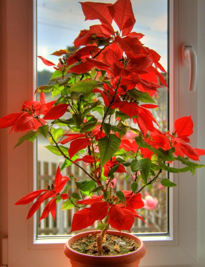 Цветок рождественская звезда примета