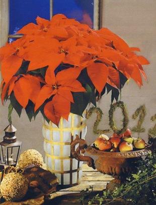 Пуансетия в новый год