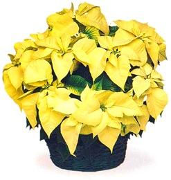 Пуансетия с желтыми прицветниками