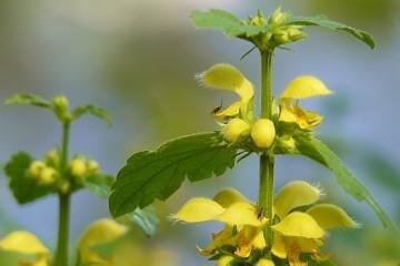 Зеленчук желтый - о растении, фото