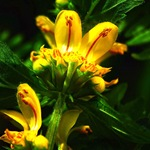 Зеленчук обыкновенный - желытые цветы